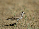 Killdeer in Eastern Montana Photographic Print by Joel Sartore
