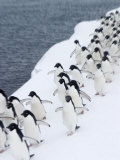 Adelie Penguins Walking in Line Photographic Print by Ralph Lee Hopkins