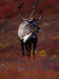 Barren Ground Caribou Bull with Velvet Covered Antlers Set against the Fall Tundra, Alaska Lámina fotográfica por John Eastcott & Yva Momatiuk