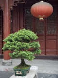 Bonsai Tree and Red Lantern and Buddhist Temple in Jingzhou, China Photographic Print by David Evans