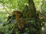 Close View of Mushrooms Growing on a Tree Stump Photographic Print by James P. Blair