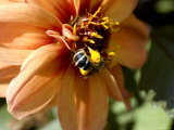 Close-Up of a Bee on an Orange Flower, Groton, Connecticut Photographic Print by Todd Gipstein