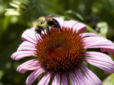Close-Up of a Bee on the Spiny Center of an Echinacea Flower, Groton, Connecticut Fotoprint van Todd Gipstein