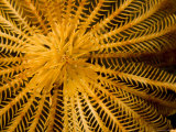 Detail of a Feather Star Crinoid, Bali, Indonesia Photographic Print by Tim Laman