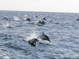 Common Dolphin Pod Swimming, California Photographic Print by Rich Reid