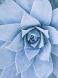 Close-Up of Blue Green Echeveria Succulent Plant, California Photographie par James Forte