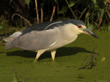 Black Crowned Night Heron Searching in a Bog for Prey, Bombay Hook, Delaware Photographic Print by George Grall