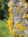 Barbed Wire Cuts into Lichen Covered Tree Trunk Photographic Print by David Evans