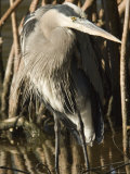 Great Blue Heron in Front of Red Mangrove Roots, Sanibel Island, Florida Photographic Print by Tim Laman