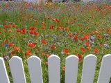 Denmark, Skagen, Garden of Red Poppies Photographic Print by  Brimberg & Coulson
