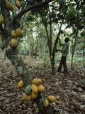 Cacao Tree Laden with Fat Yellow Seed Pods Photographic Print by James L. Stanfield