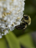 Close-Up of a Bee on a White Flower, Groton, Connecticut Photographic Print by Todd Gipstein