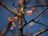 Budding Flowers on a Tree in Shennongjia, Chongqing, China Photographic Print by David Evans
