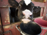 Calf with its Head Through the Stall Door, Pennsylvania Impressão fotográfica por Tim Laman