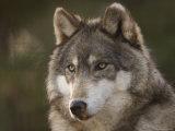 Gray Wolf at the Rolling Hills Wildlife Adventure Fotografisk trykk av Joel Sartore