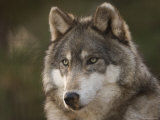 Gray Wolf at the Rolling Hills Wildlife Adventure Fotografiskt tryck av Joel Sartore