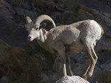 Endangered Peninsular Bighorn Sheep Ram, Anza-Borrego Desert State Park, California Photographic Print by Rich Reid