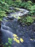 Fall Color Devil's Club Leaves and Stream on Winner Creek Trail, Alaska Photographic Print by Rich Reid