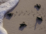 Endangered Greenback Turtle Hatchlings Entering the Sea, Yucatan, Mexico Fotografisk tryk af Kenneth Garrett