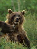 Grizzly Bears, Alaska Fotografie-Druck von Michael S. Quinton