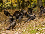 Gaggle of Wild Turkeys, Lexington, Massachusetts Photographic Print by Tim Laman