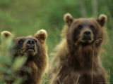 Grizzly Cubs, Alaska Photographic Print by Michael S. Quinton