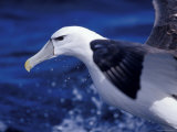 Head, Eye and Beak Detail of a Vulnerable Shy Albatross in Flight, Australia Photographie par Jason Edwards