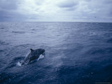 False Killer Whale Leaps over the Stormy Ocean Surface, Australia Photographic Print by Jason Edwards