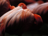 Greater Flamingo Sleeps with its Head Beneath Wing Feathers Photographic Print by Jason Edwards