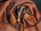 Cute Endangered Leadbeaters Possum Held Captive in a Restraint Bag, Australia Photographic Print by Jason Edwards