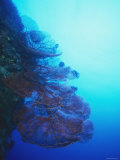 Giant Red Gorgonian Coral with Feather Star with Reef, Blue Water, Lau islands, Fiji Photographic Print by James Forte
