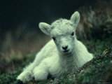Dall Sheep Lamb Resting, Alaska Fotografie-Druck von Michael S. Quinton