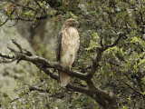 Juvenile Red-Tailed Hawk Perches in an Oak Tree Papier Photo par George Grall
