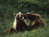 Grizzly Cubs Play Fighting, Alaska Fotografie-Druck von Michael S. Quinton