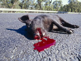 Dead Feral Pig on the Roadside, The Victim of Roadkill, Australia Photographic Print by Jason Edwards
