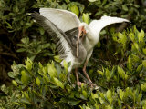 Juvenile White Ibis Being Fed in a Mangrove Tree, Tampa Bay, Florida Photographic Print by Tim Laman