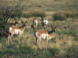 Group of Pronghorn Photographic Print by Rich Reid