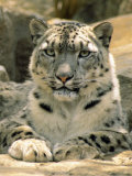 Frontal Portrait of a Snow Leopard's Face, Paws and Predators Stare, Melbourne Zoo, Australia Impressão fotográfica por Jason Edwards