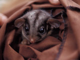 Endangered Leadbeaters Possum Peers from a Research Restraint Bag, Australia Photographic Print by Jason Edwards