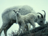 Dall&#39;s Sheep Lamb and Ewe, Alaska Fotografie-Druck von Michael S. Quinton