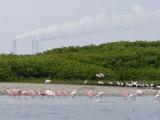 Flock of Juvenile and Adult Roseate Spoonbills, Tampa Bay, Florida Photographie par Tim Laman