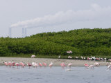 Flock of Juvenile and Adult Roseate Spoonbills, Tampa Bay, Florida Photographic Print by Tim Laman