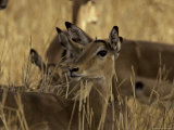 Impalas Shading from the Heat in a Forest, with Eyes and Ears Alert, Serengetti, Tanzania Photographic Print by Jason Edwards