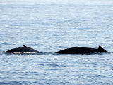 Humpback Whale Female Traveling with Calf, Massachusetts Photographic Print by Tim Laman