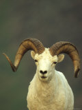 Full Curl Dall&#39;s Sheep Ram, Alaska Fotografie-Druck von Michael S. Quinton