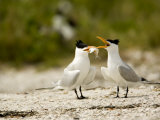Courting Caspian Tern Caspian Tern Offers Up a Fish Photographic Print by Tim Laman