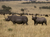 Endangered Black Rhinoceros with a Large Calf Cross the Savannah Photographic Print by Jason Edwards