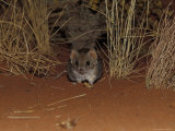 Endangered Mulgara, Ampurta, Hunting in Spinifex Sand Country, Alice Spring Desert Park, Australia Photographic Print by Jason Edwards
