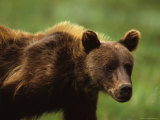 Grizzly Cub, Alaska Fotografie-Druck von Michael S. Quinton