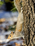 Eastern Gray Squirrel Climbing Down a Tree, Lexington, Massachusetts Photographic Print by Tim Laman